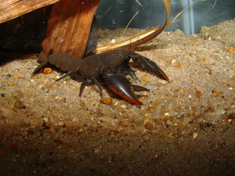 cherax-punctatus-spec-1764-landsboroughqld-018