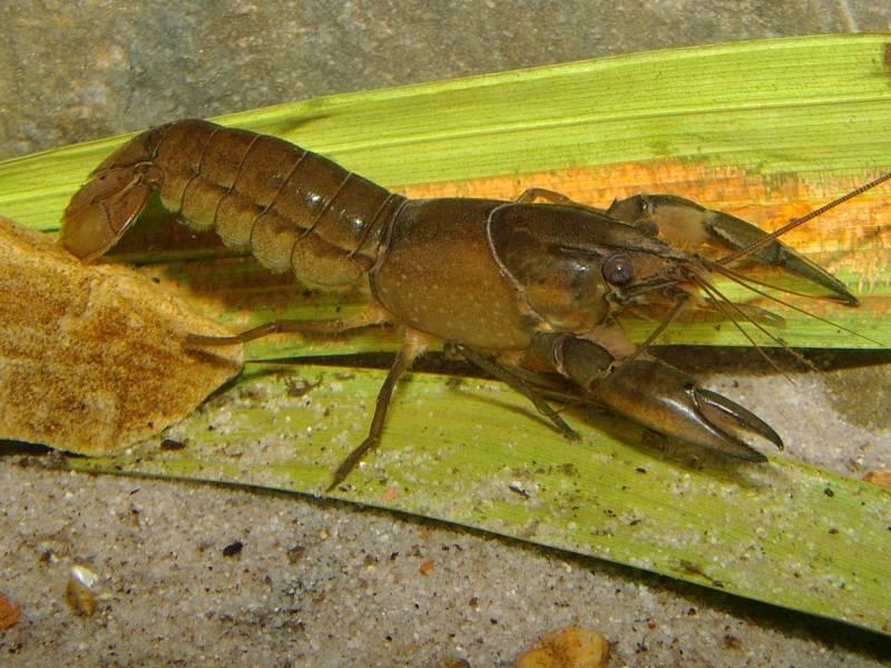 cherax-rhynchotusimgp2061