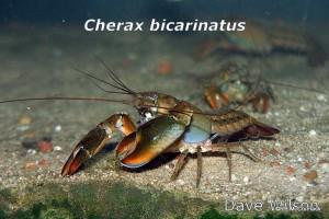 Cherax_bicarinatus