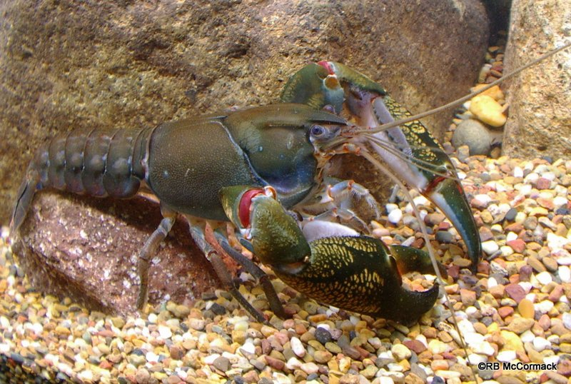Crayfish Creek Australia  city images : Crayfish List – Freshwater Crayfish of Australia 2016 | Australian ...
