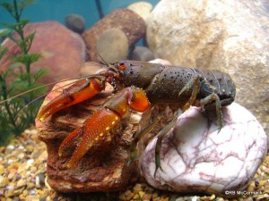 The Small Spiny Crayfish Euastacus dangadi