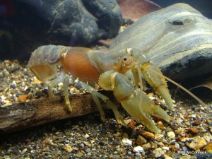 The Swollen Crayfish Euastacus guruhgi