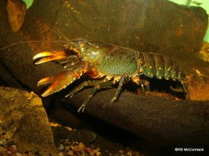 The Conondale Spiny Crayfish Euastacus hystricosus