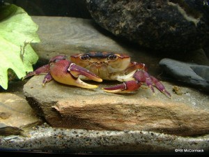 Mt Finnigan freshwater crab found as high as 600m.