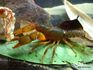 The Balan Crayfish Euastacus balanensis