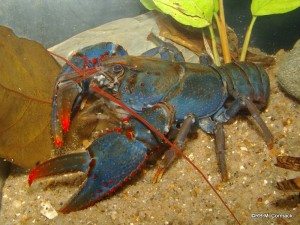 The Red and Blue Spiny Crayfish Euastacus fleckeri