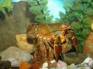 The Ellen Clark's Crayfish Euastacus clarkae