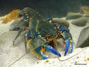 The Alpine Crayfish Euastacus crassus