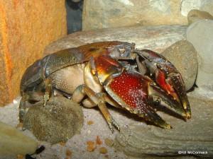 McCormack's Terrestrial Crayfish Euastacus maccai