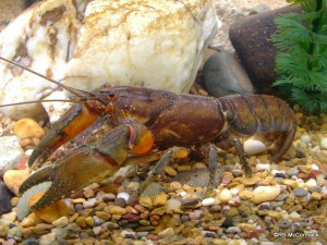 The Orange Bellied Crayfish Euastacus mirangudjin