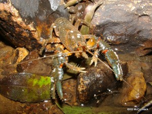 The Mount Glorious Spiny Crayfish Euastacus setosus