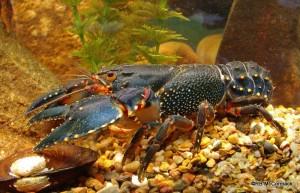 Sutton's Crayfish Euastacus suttoni