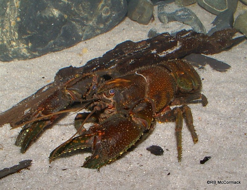 Crayfish Creek Australia  city photo : Crayfish List – Freshwater Crayfish of Australia 2016 | Australian ...
