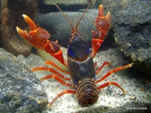 The Cardwell Dwarf Crayfish Euastacus yigara