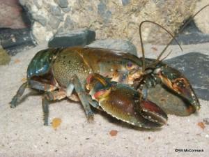 Clayton's Crayfish Euastacus claytoni