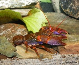 Robert's Crayfish Euastacus robertsi