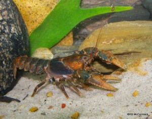 The Mt Elliot Crayfish Euastacus bindal
