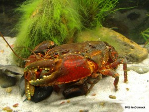 The Small Mountain Crayfish Euastacus simplex