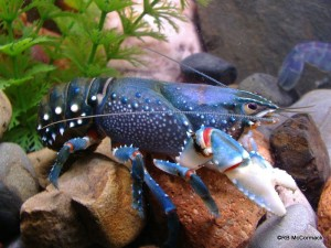 The Yarra Spiny Crayfish Euastacus yarraensis