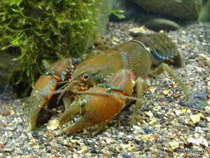 The Orbost Spiny Crayfish Euastacus diversus