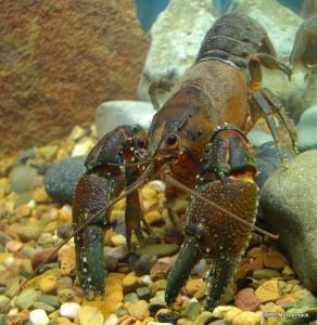 The Hanging Rock Crayfish Euastacus gamilaroi