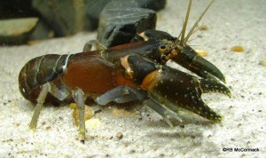 The Smooth Crayfish Euastacus girurmulayn