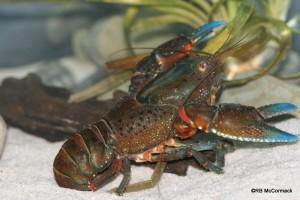 The Tianjara Crayfish Euastacus guwinus