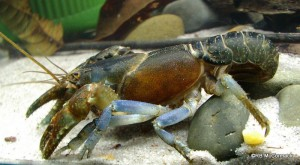 The Blue Black Crayfish Euastacus jagabar