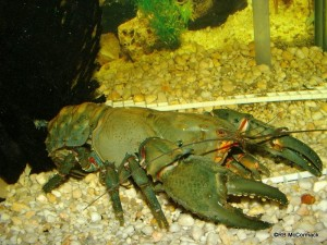 The Gippsland Spiny Crayfish Euastacus kershawi