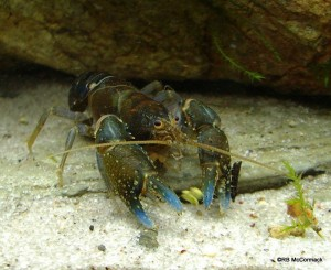 The Hinterland Crayfish Euastacus maidae