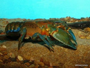 The South Gippsland Spiny Crayfish Euastacus neodiversus