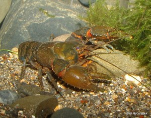 The New Hairy Crayfish Euastacus neohirsutus