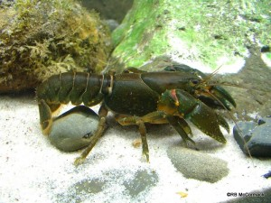 The Many Bristled Crayfish Euastacus polysetosus