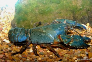 The Central Highland Spiny Crayfish Euastacus woiwuru