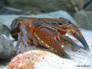 Morgan's Crayfish Euastacus morgani