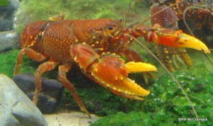 The Southern Lobster Euastacus yanga