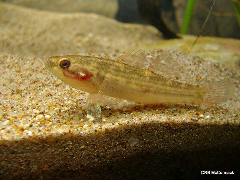 The striped gudgeon Gobiomorphus australis