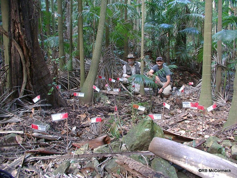 Rob McCormack (left) and Paul Van der Werf (right) researching Euastacus urospinosus. Each flag represents a burrow entrance in the rainforest floor.
