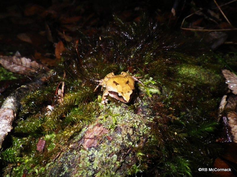 Photo Sphagnum Frog (Philoria sphagnicola)