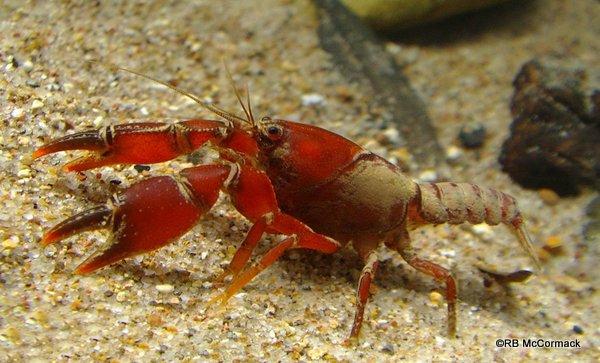 Adult Engaeus fultoni 3 g, 16.4 mm OCL