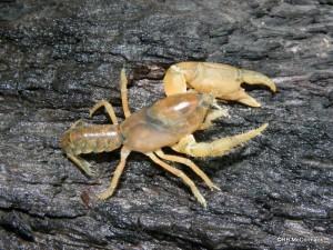 Engaeus sericatus