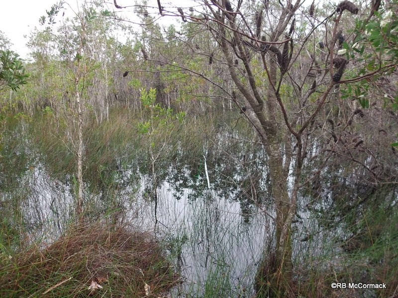 Shallow coastal paperbark and reed swamps in the Lake Innes National Park are prime giant water bug habiutat areas