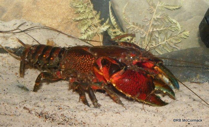 The Sydney Crayfish Euastacus australasiensis