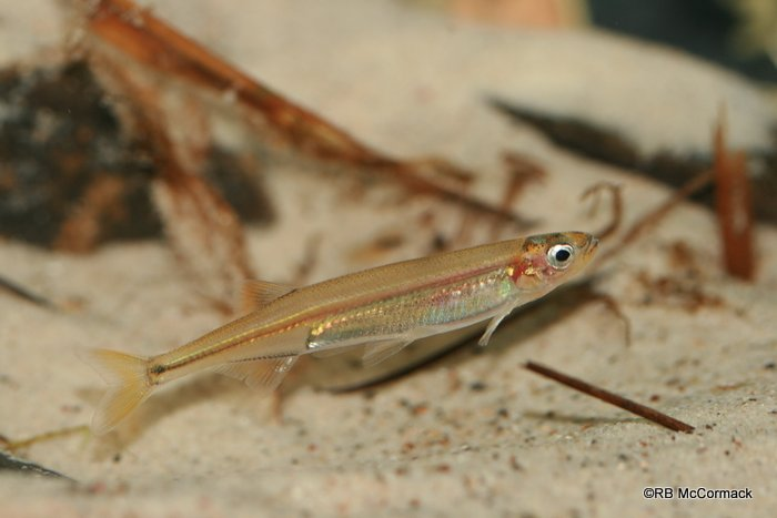 The Australian Smelt Retropinna semoni