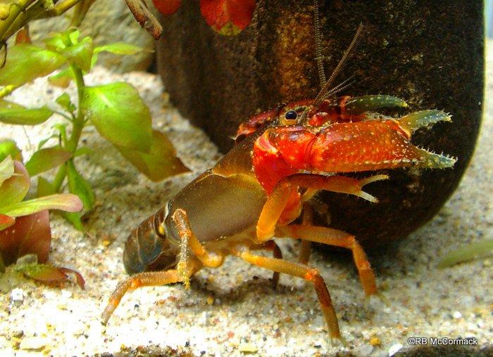 Photo Euastacus angustus