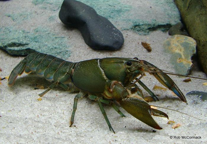 Cherax cuspidatus
