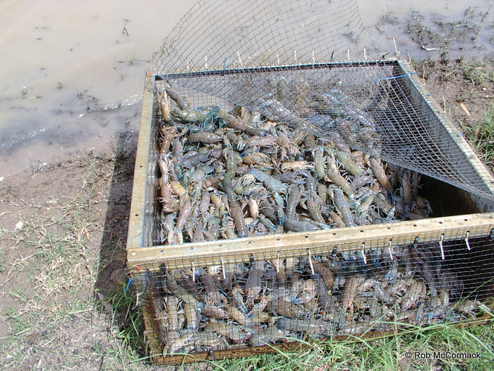A holding cage full of yabbies ready for sale