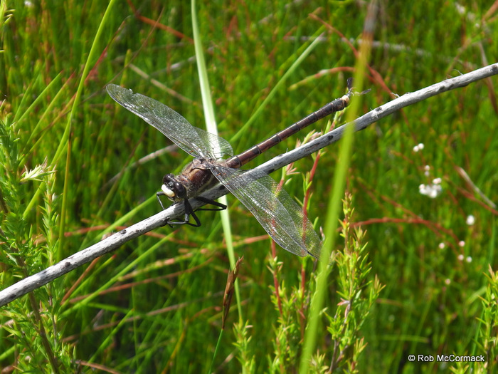 The Giant Dragonfly Petalura gigantea