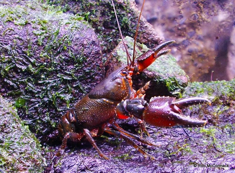 Ellen Clark's Crayfish Euastacus clarkae