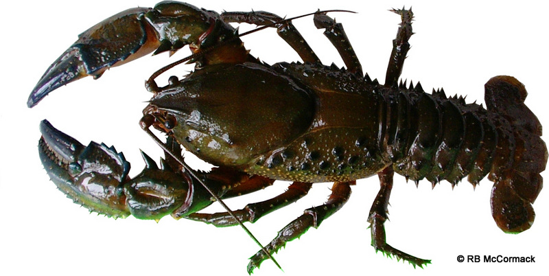 The New Euastacus is a true spiny crayfish with numerous large sharp spines
